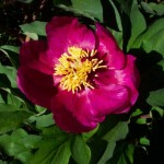 Peonia